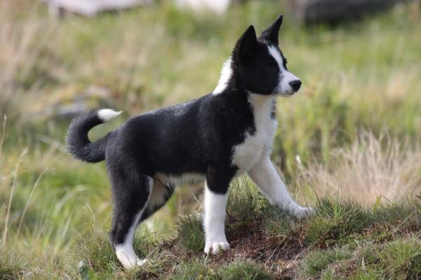 Karelský medvědí pes - štěňata