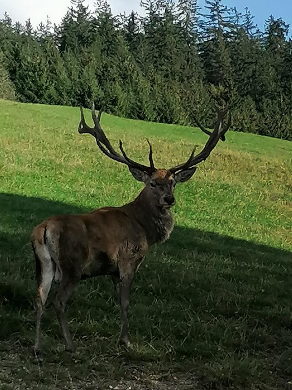 Jeleň Rakúsko