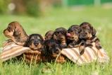 Jazvečík hrubosrtý - šteňatá s PP na predaj