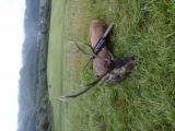 Jeleň karpatský